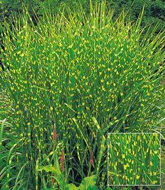 carex 'bronze reflection', 3 pflanzen, Best garten ideen