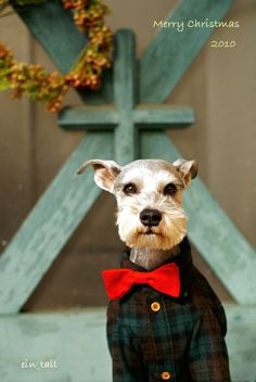 Miniature Schnauzer by Terry---this little dude is pretty dapper!