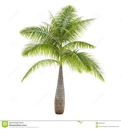 Palm Tree Isolated. Hyophorbe Lagenicaulis - Download From Over 38 Million High Quality Stock Photos, Images, Vectors. Sign up for FREE today. Image: 36263046