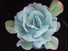 Echeveria gigantea | Flickr - Photo Sharing!