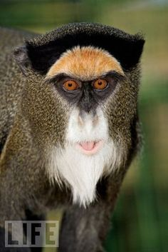 Think this African swamp monkey is colorful? You ain't seen nothing yet: Males of the species have a blue scrotum