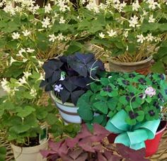 """Shamrocks"" are really Oxalis species. Small Flowers, White Flowers, Shamrock Plant, Wood Sorrel, Four Seasons, Shades Of Green, Green Leaves, Seasonal Decor, Houseplants"