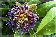 Jamaican passion fruit flower
