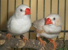 I had a beautiful white zebra finch once plus others.  I miss having them.