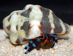 Electric Blue Knuckle Hermit Crabs