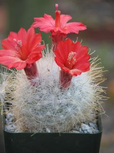 Mammillaria Senilis Cactus; green bodied plants with long white spines, they produce several a beautiful red flowers.