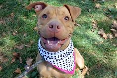 BROOKLYN  - A1089371 - - Manhattan  Please Share:TO BE DESTROYED 09/19/16 A volunteer writes: She has CRINKLES! OK, I made up the word, but it fits. Her forehead is adorably wrinkly like she's pondering some in depth question, like, 'why is the sky blue?, why do they say it's raining 'cats and dogs'?, why doesn't everyone carry great treats for me?, why can't I have a new home right now? when's the next episode of Pit Bulls an