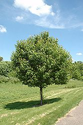 Click to view full-size photo of Northwood Red Maple (Acer rubrum 'Northwood') at Bachman's Landscaping