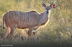 Kudu by guest Mark Farrington