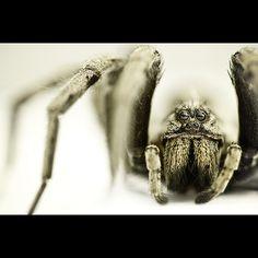 Lycosidae Tarantula Tarantulas #tarantula #tarantulas