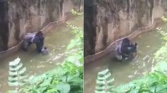 Moments earlier the child accidentally fell into the animal's enclosure. The Gorilla had to be shot to stop him from harming the the four-year-old.