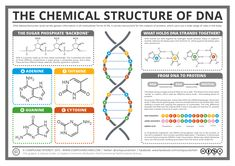 Today's post crosses over into the realm of biochemistry, with a look at the chemical structure of DNA, and its role in creating proteins in our cells. Of course, it's not just in human…