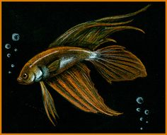https://flic.kr/p/8LPocj | Siamese Fighting Fish | Old drawing of a betta fish I did before I owned a betta.  My art can be found at Aki--Tenraku.deviantart.com  This drawing was done with Color Pencils on black paper.