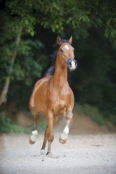 """Shagya Araber - Christiane Slawik - """"This is me proudly running."""" - The Horse"""