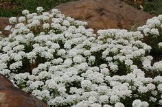 Candytuft can work well in rock gardens. I find that it likes a lot of sun. The flowers are exquisite when viewed up close. The origin of the name, by the way, is probably not what you think; I explain here, while also offering growing information: http://landscaping.about.com/od/perennialflowers/p/candy_tuft.htm