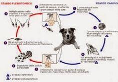 Le cronache animali: La Leishmaniosi del cane