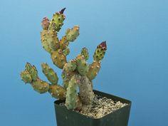 Austrocylindropuntia sp. Baker 5/30 [B] cactus Tephrocactus Opuntia RARE B87 | Home & Garden, Yard, Garden & Outdoor Living, Plants, Seeds & Bulbs | eBay!