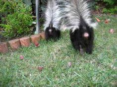 baby skunks practicing their spraying handstands- so cute!!!