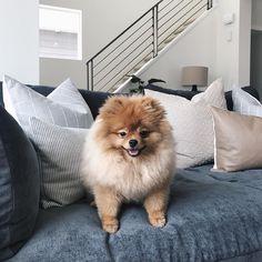 Pomeranian, dog, puppy, pets