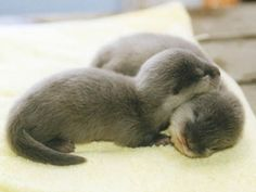 a couple of baby otters