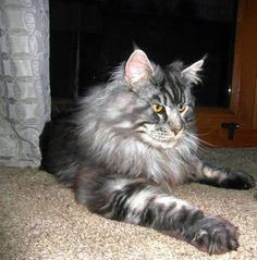 Rockoon Orlando, Wolfies dad at Ultramaine maine coons silver tabby