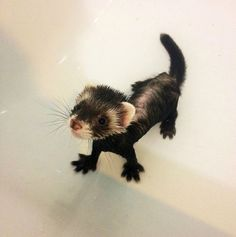 Ferret is not sure about this bath