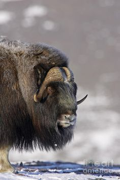 Musk Ox Dressed For Winter
