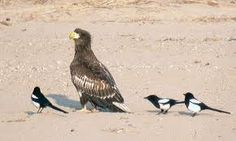 Eurasian Magpies (and Steller's Sea Eagle). Image from http://www.birdskorea.org/Birds/Birdnews/BK-BN-birdnews-2007-02.shtml