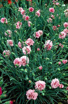 pink 'Rose Monica Wyatt'