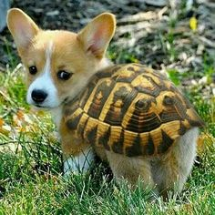 Lil corgi pup wants to be a turtle & The 89 best Dogs and Puppies images on Pinterest | Animais Animaux ...