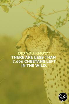 The cheetah is Africa's most endangered big cat due to habitat loss, reduced prey and poaching. They are as fast as cars, accelerating up to speeds of 70 mph (110 kph) in just 3 seconds. Help us protect cheetahs and other endangered species - 25% of profits from our products are donated to IFAW. www.causeyoucareco.com #cheetah #endangeredspecies #cats