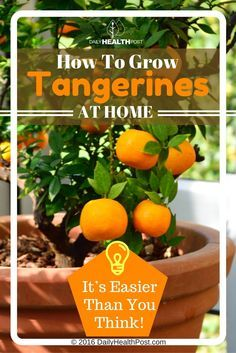 But tangerines are often GMO and travel long distances before arriving in your local supermarket, leaving them damaged or stale.