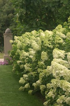 What could be more lovely than a chartreuse hedge? Limelight hydrangea ~