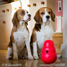 Beagles waiting to play with their new toy