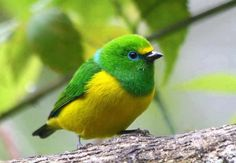Blue-naped Chlorophonia     from South America