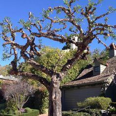 LA Tree trimming #1