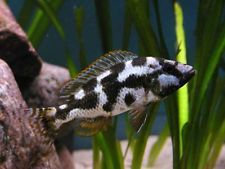 Nimbochromis livingstonii ** Malawi Cichlid **  4-5cm