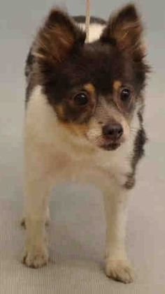 SUPER URGENT Manhattan Center KARISSA – A1083040  **POSSIBLE SEIZURE HX**  FEMALE, TRICOLOR, PAPILLON / CHIHUAHUA SH, 8 yrs STRAY – STRAY WAIT, NO HOLD Reason STRAY Intake condition UNSPECIFIE Intake Date 07/28/2016  http://nycdogs.urgentpodr.org/karissa-a1083040/