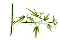 marijuana pruning