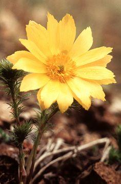 Tavaszi hérics (Adonis vernalis, Ranunculaceae) (Seregélyes Tibor felvétele)