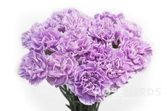 Wholesale Moon Series Lavender Carnations 'Moon Aqua' - 80 stems