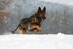 Love the look of a sable German Shepherd. Id like to have one some day.