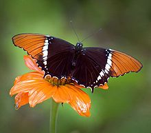 @Aunt Lisa--here's one I found on Wikipedia.  Sure hope I'm doing this right!  My first pin from a site. Orange And Black Butterfly, Beautiful Butterfly Pictures, Beautiful Butterflies, Beautiful Flowers, Butterfly Kisses, Butterfly Quotes, Butterfly Shape, Butterfly Wikipedia, Carl Sagan