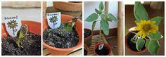 Sunflower Life Cycle - Montessori Bloggers Network