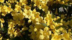 Le Jasmin jaune ( Gelsemium sempervirens) contient une substance proche de la strychnine. Dans Les Quatre, le meurtrier feint d'injecter un stimulant cardiaque qui n'est rien d'autre qu'une dose létale de  Gelsemium.