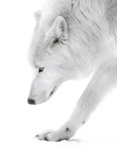 White wolf, one of the most majestic creatures.