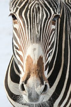 Have you hugged a zebra today?  Today is International Zebra Day!
