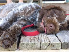 Wirehaired Pointing Griffon Dog Breed Information - American Kennel Club Wirehaired Pointing Griffon, Griffon Dog, German Wirehaired Pointer, I Love Dogs, Cute Dogs, Animals And Pets, Cute Animals, American Wirehair, Pointer Puppies