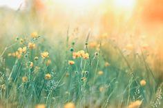 Luonnonkukkien+päivää+vietetään+sunnuntaina+oman+pihan+ja+lähiluonnon+kukkaloistosta+nauttien