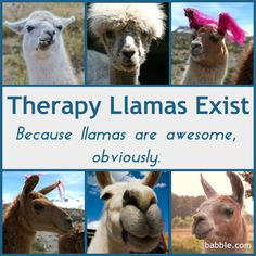 10 Reasons Llamas Make the Best Therapy Animals. YOU GUYS! I need a therapy llama! Llama Llama Duck, Llama Alpaca, Alpacas, Mind Over Body, Baby Animals, Cute Animals, Military Dogs, Goat Farming, Disney Family